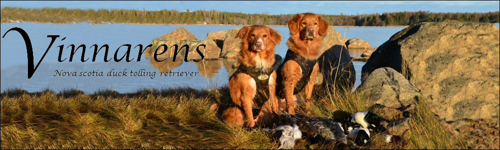 Kennel Vinnarens Nova Scotia Duck Tolling Retriever